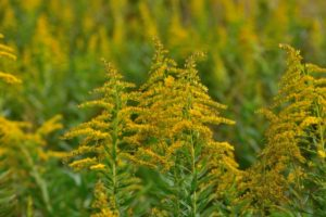 秋の花粉症 ブタクサ