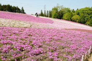 秩父羊山公園の芝桜 見どころ
