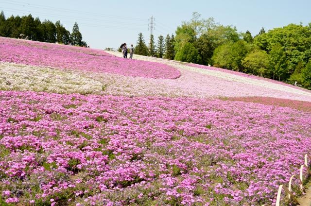 秩父羊山公園の芝桜2018の開花状況や見頃は? 見所や行き方やアクセス方法について