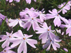 秩父羊山公園の芝桜 見どころ 開花時期
