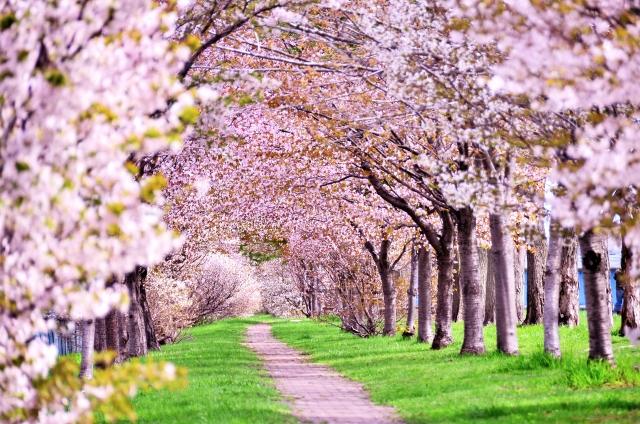 新宿御苑の桜2019開花時期や見どころ、混雑状況やアクセス方法について