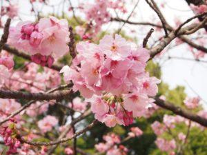 上野公園 お花見 楽しむコツ
