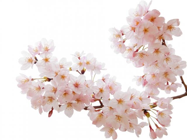 新宿御苑 桜 開花時期