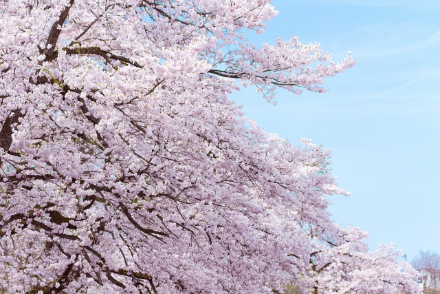 お花見に便利な持ち物リスト基本の基本のグッズを紹介!