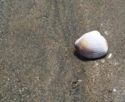 潮干狩り ハマグリ 保存方法