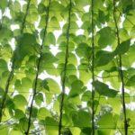 緑のカーテン 作り方 初心者