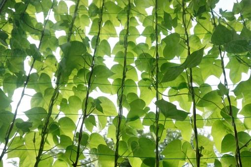 緑のカーテンのネット貼り方100均や一戸建てベランダの事例を紹介
