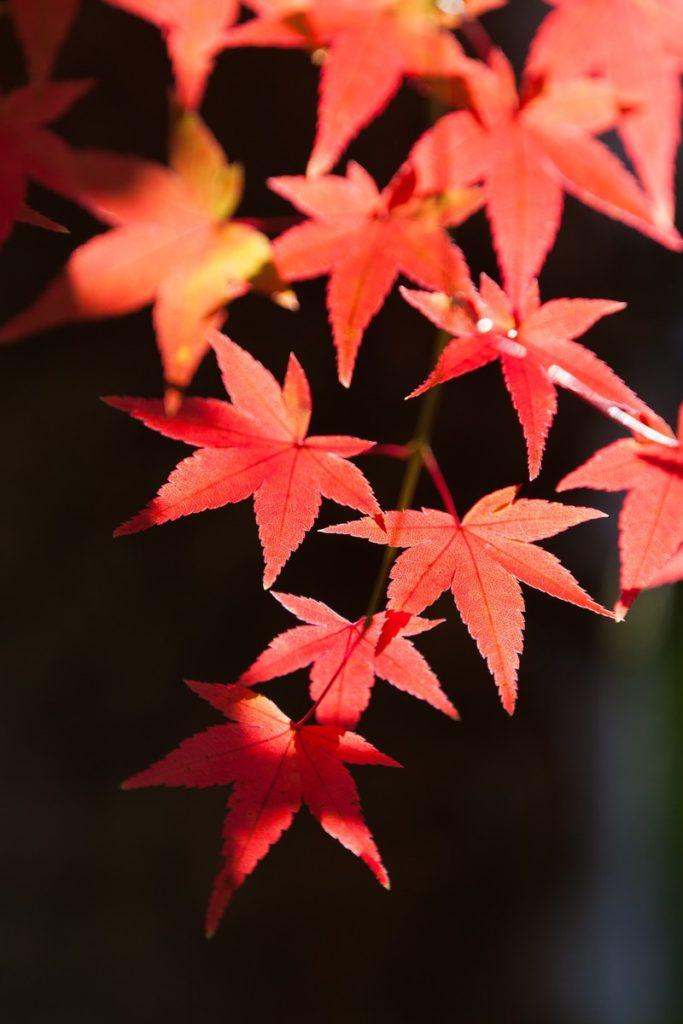 大阪箕面で紅葉ベビーカーOKな場所や駐車場・混雑・おすすめを紹介