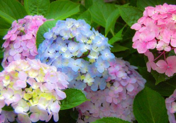 紫陽花の挿し木は難しくない!挿し木に最適な時期はいつ?