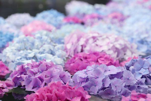 紫陽花の花言葉には怖い意味があった!?色によって意味が大きく変わる!?